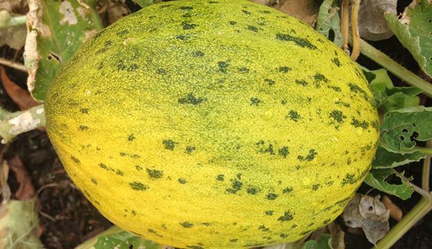 lambkin melon
