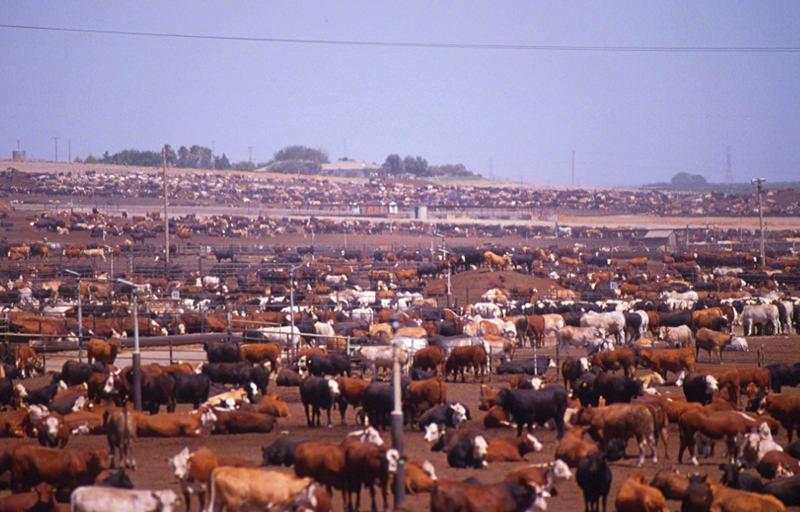 cattle farm farming cows