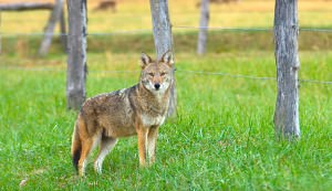coyote predator