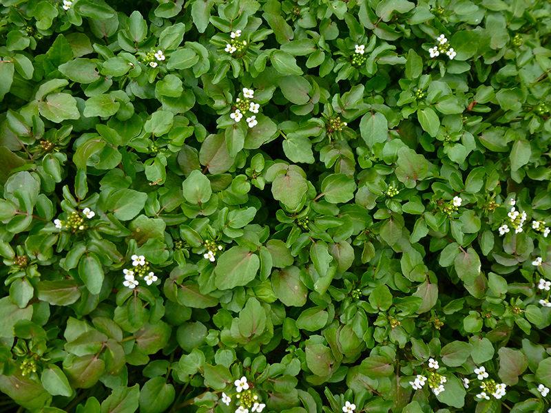 wild edibles watercress