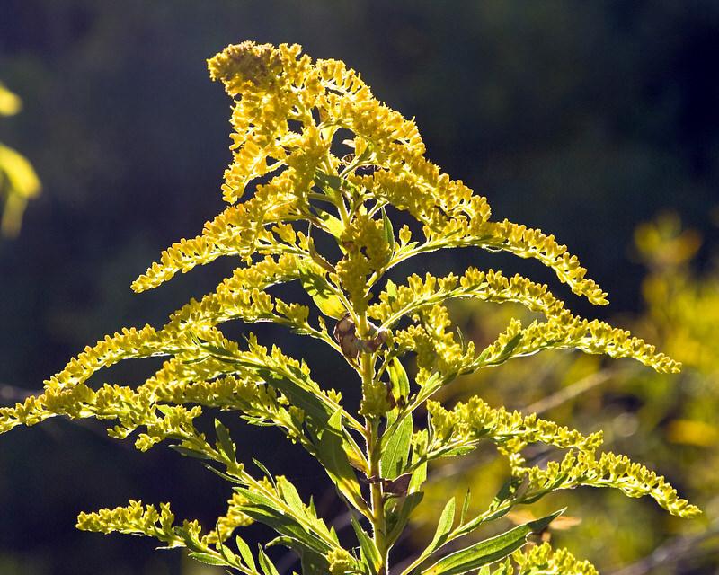 wild edibles goldenrod