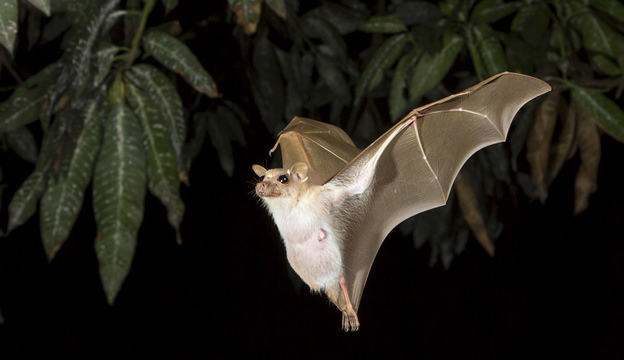 Dwarf epauletted fruit bat (Micropteropus pussilus) flying at night