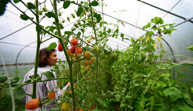 greenhouse, hoop house, tomatoes