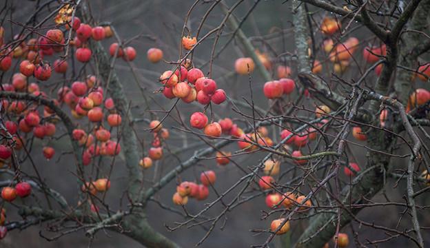 apples, apple tree, winter