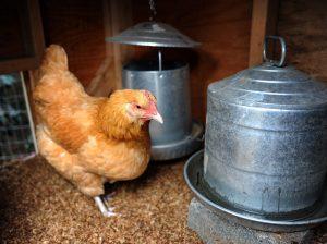 chicken breeds eggs