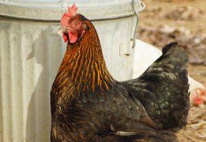 chicken breeds eggs chickens