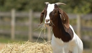 adopt farm animals