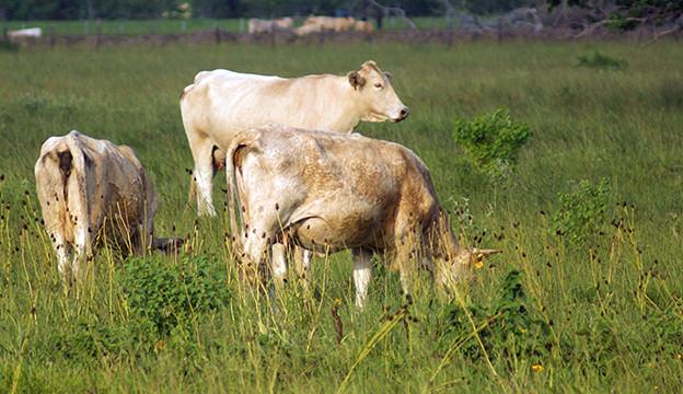 grassfed beef cattle