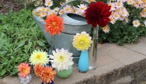 Overwinter your dahlia tubers so you have flowers next year.