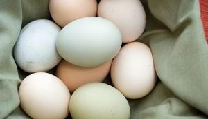 egg layer chicken breeds