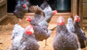Regular examinations of your chickens are important for their health.