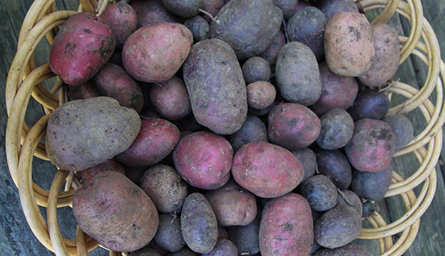 Grow your own potatoes for Thanksgiving.