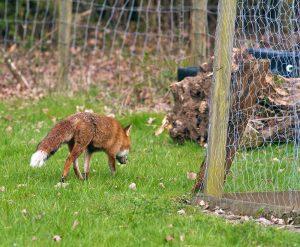 fox foxes chickens predators