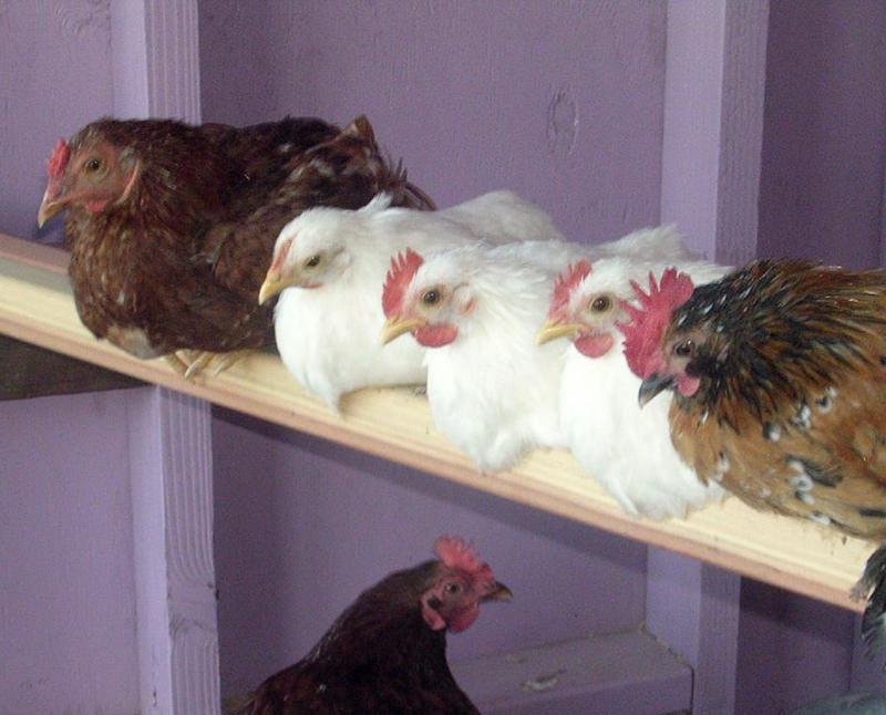 chickens frostbite