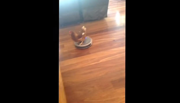 Chicken on a roomba