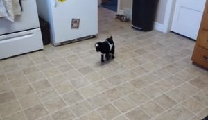 baby goat hops