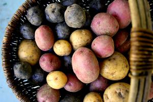 harvest potatoes dry farming