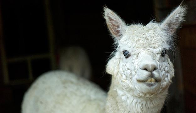 alpaca teeth