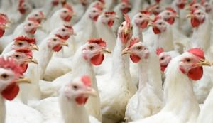 turning chicken poop into energy