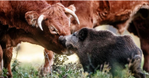 wild boar and cow
