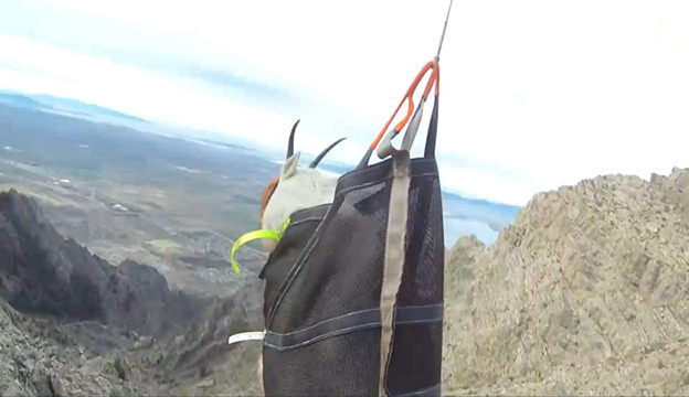 goat lifted with helicopter