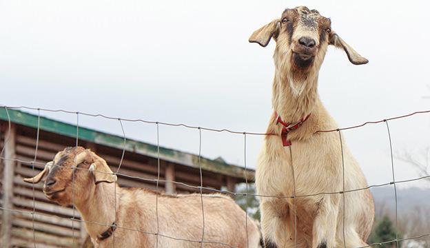 start a goat business