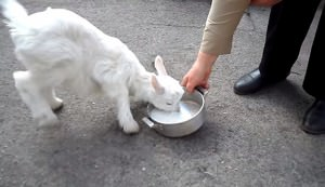 goat drinking milk