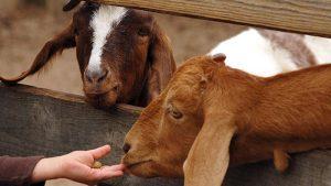 kinder goats companions