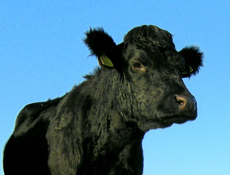 farm animals dexter cattle city urban breeds