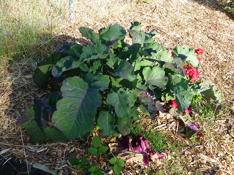 vegetables collards
