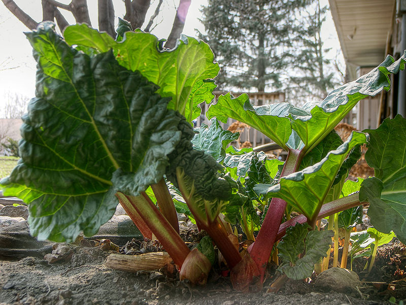 vegetables rhubarb