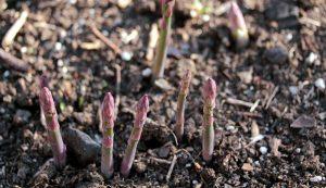 vegetables asparagus