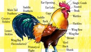 chicken anatomy