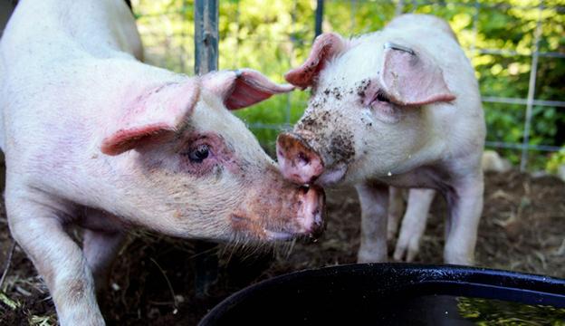 urban pigs