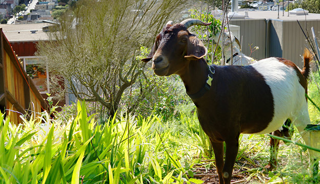 weed control goats