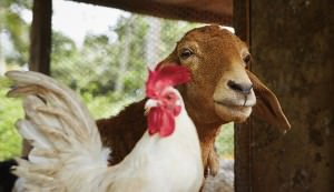 chicken vs goat manure
