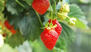 strawberry spiral