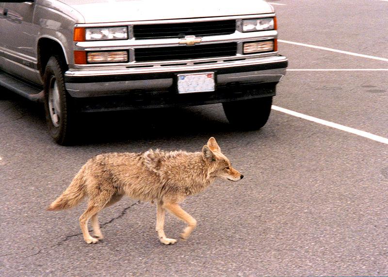 coyote coyotes