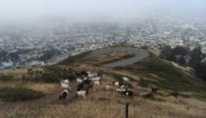 urban goat herd in San Francisco