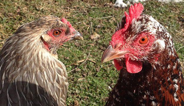 chickens, backyard chickens