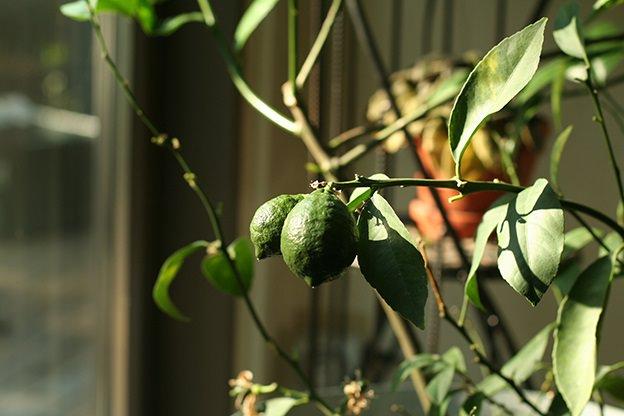citrus, plant