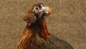 Araucana chicken