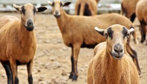 Barbado Blackbelly Sheep