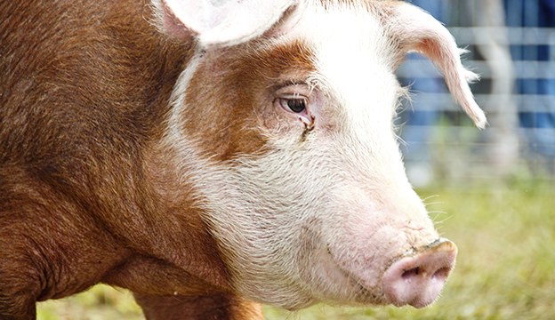 Close up of a Hereford hog