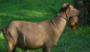 Savanna goat