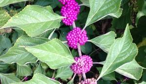 ornamental shrub