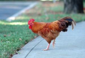 feral chicken