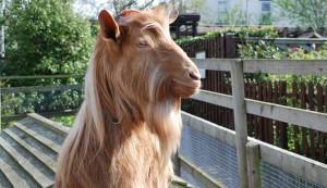 goat, city goat
