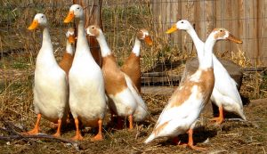 ducks garden