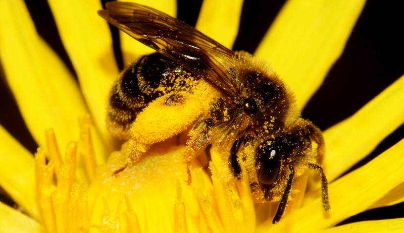 bee pollen bees